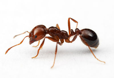 Early Detection and Rapid Response - Pacific Invasive Ant Toolkit