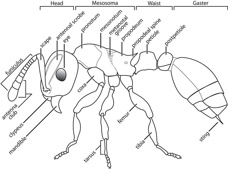 Ant Diagram To Label The Best Ant 2018