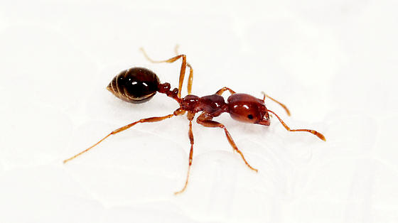 a comparison between the warlike termite and the imported fire ant Department of entomology a comparison between the upper part of the hazards and risks of formosan subterranean termite and red imported fire ant to soil.